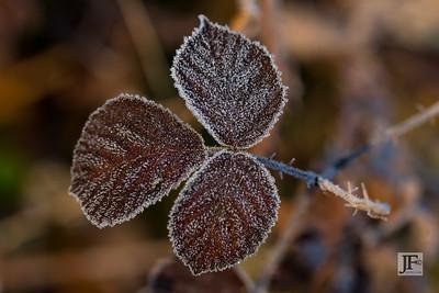 Frosty bramble, Micheldever