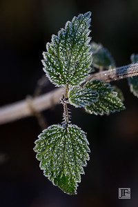 Frosty bramble, Micheldever