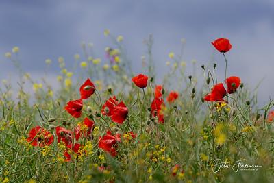 Poppies, Suffolk