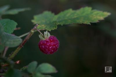 Wild raspberry, Suffolk