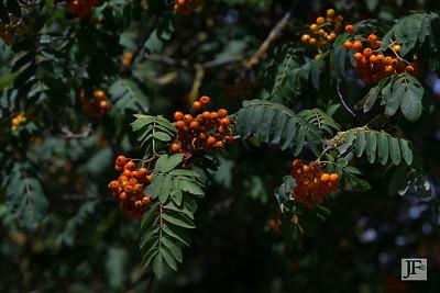 Rowan tree, Yonne