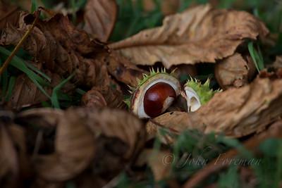 Horse Chestnut, Suffolk