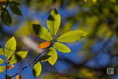 Chestnut leaves, New Forest