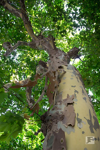 Plane Tree. Majorca