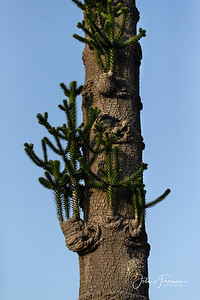 Monkey Puzzle, Bournemouth