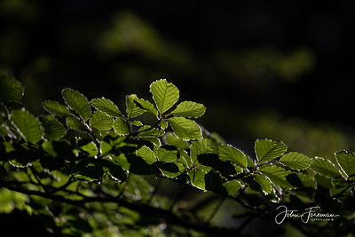 Beech leaves, New Forest