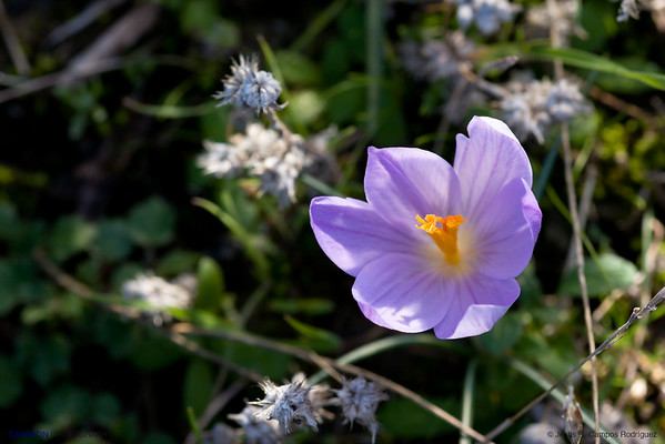 Floración Otoñal (crocus serotinus)