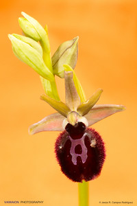 Ophrys gr. shegodes