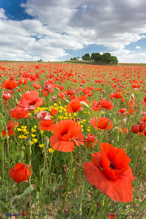 Poppy field. Spring in red, yellow and blue.