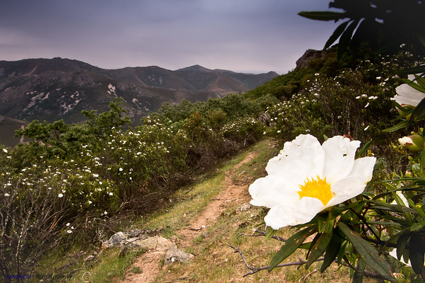 You know one of the secrets of Chanel no. 5?. The 'jara pringosa' flower (Cistus ladanifer),  native of the Iberian Peninsula, where it is very common,  and northwest Africa. The picture was taken in a mountainous area of ​​the region of Extremadura.