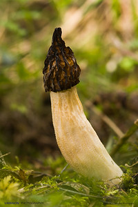 Morel mushrooms are common and funny. They are edible, and highly prized by gourmets worldwide. 'Cañon del Río Dulce' (Sweet River Canyon). Province of Guadalajara, Spain.