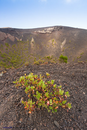 In the Canary Islands, this plant is called 'Vinagrera' (Cruet). In the background you can see the crater of the volcano of San Antonio, located south of the island. La Palma island, Canary Islands. Spain.