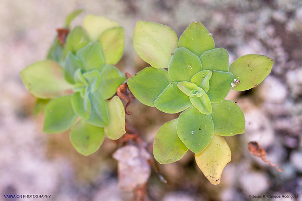 Aichryson bollei,  This popular plant, called 'oreja de ratón' (mouse ear), is one of the endemic species typical of the island of La Palma. Cubo de la Galga, La Palma island, Canary Islands. Spain.