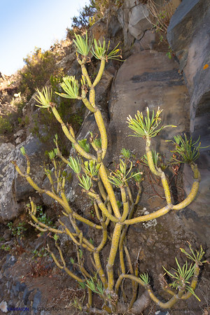 In the Canary Islands, this plant is called 'Verode'. It is another one of the striking endemisms in the Canary Islands, and very common there.