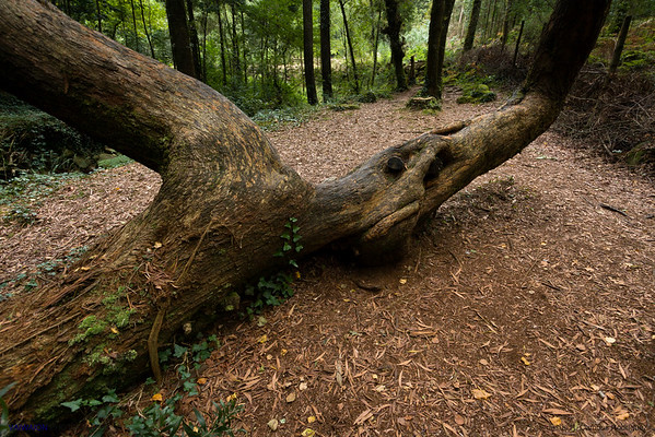 Mystic Oak. Fraga River Forest. Moaña, Galicia. Spain.