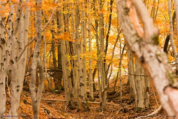 Birch Forest. Hayedo de la Tejera Negra, Guadalajara. Spain.