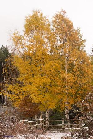 Golden poplars in winter