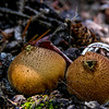Puffball Mushrooms (Lycoperdon perlatum)