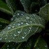 Raindropped Leaf