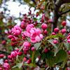 Crab Apple Blossoms (Malus sylvestris)