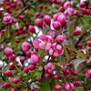 Crab Apple Blossoms (Malus sylvestris) 3