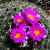 Pincushion Cactus Blossoms  (Mammillaria) with Bee (Anthophila)