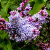 Lilac (Syringa vulgaris) 2