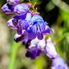 Bluebells (Hyacinthoides non-scripta) 2