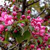 Crab Apple Blossoms (Malus sylvestris) 2