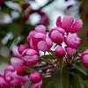 Crab Apple Blossoms (Malus sylvestris) 4