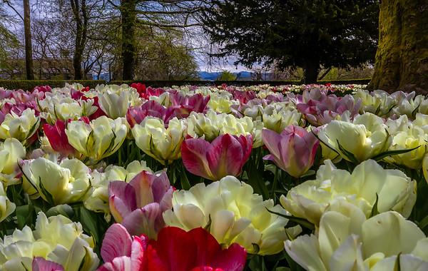 Tulipaner fra Ledaal-parken, Stavanger