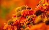 Fargerikt fra Stavaanger Botaniske Hage