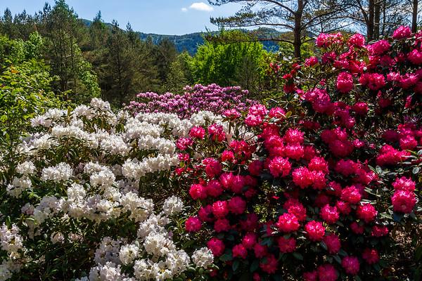 Rhododendron i full blomst, Rogaland Arboret