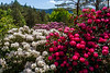Rhododendron i full blomst, Rogaland Arboret