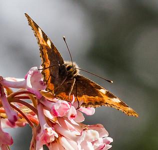 Sommerfugl i Rogaland Arboret