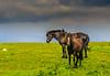 Beitende hester, Hå på Jæren