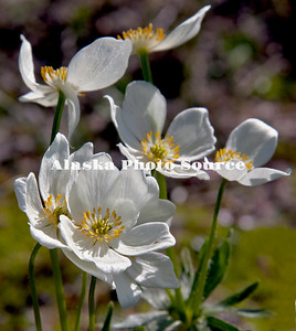 Alaska. Narcissus-flowered Anenomes (Anemone narcissiflora)  wildflowers growing in the alpine meadows along the Denali Highway in June.