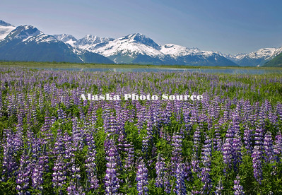 Field of Nootka Lupine (Lupinus nootkatensis) with upper Turnagain Arm in the background.
