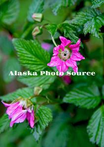 Alaska. Salmonberry flowers, Ouzinkie island, Kodiak Archipelago.