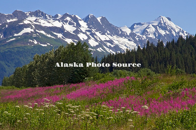Alaska. Scenic view of wildflower (cow parsnip, fireweed) mountain landscape from Ingram Creek, Chugach National Forest.
