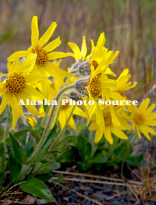 Alaska. Frigid Arnica (Arnica frigida) wildflowers along the alpine portions of the Denali Highway in June.