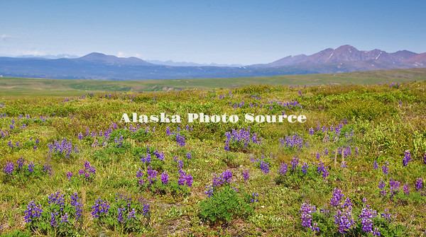 Alaska. Wild arctic lupine wildflowers form the foreground of a scenic view along the Denali Highway, around Paxon Mile 11.