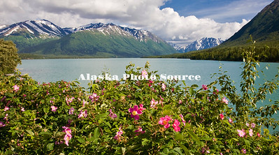 Alaska.Wild roses grow along the edge od Kenai Lake along the Sterling Hwy.