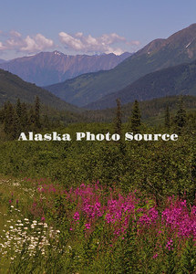 Alaska. Wildflower (Daisies and Fireweed) scenic in Turnagain Pass, Chugach National Forest.