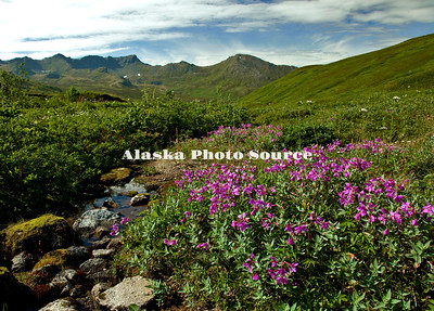 Alaska. Dwarf Fireweed blooming along a small stream at Hatcher Pass, Talkeetna Mountains.