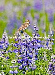 Savannah Sparrow (Passerculus sandwichensis) sitting among Nootka Lupine (Lupinus nootkatensis), Turnagain Arm, Akaska.