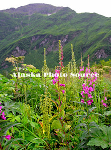 Fireweed and False Helleborne in a meadow, Mineral Creek, Valdez