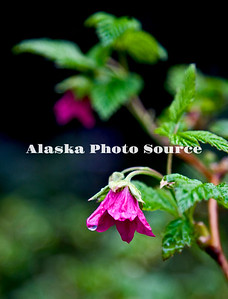 Alaska. Salmonberry flowers in the rain, Ouzinkie Island, Kodiak Archipelago.