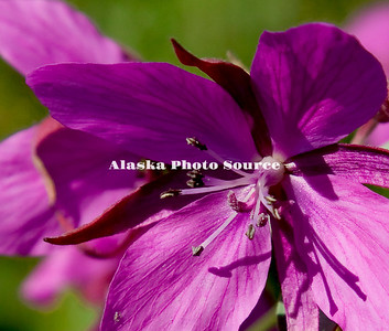 Alaska. Dwarf Fireweed bloom close-up, Talkeetna Mountains.