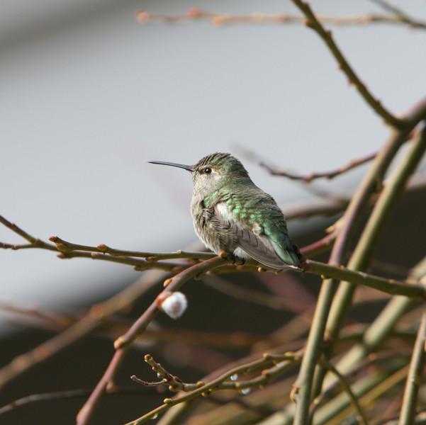 IMG_8921 Hummingbird